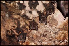 Frog-eating bats (Trachops cirrhosus)