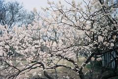sakura (FLEUR) Tags: film analog 35mm garden botanical minoltax700 analogue  f18 portra   portra400vc shanghai minolta kodak mc wrokkorhh x700 400vc 35f18