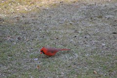 Dining (Loreen Ritter) Tags: bird cardinal malecardinal beautifulbird northamericancardinal brightredbird babymalecardinal
