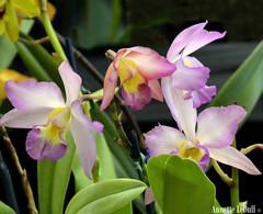 Gentle Pinks (Annette LeDuff) Tags: pink orchid flower flora exhibit hibiscus orchidaceae multiple favorited naturesdesign topshots orchidamazingflower natureselegantshots michiganorchidsociety flickrsawesomeblossoms theeliteofflickrsawesomeblossoms hollandgroup madisonheightsmi thebestofmimamorsgroups worldwidetravelogue thelilacsymphony gardenparadise loversofpink orquideasbromelias theoriginalgoldseal naturë flickrsportal artandsoul4u orchidsplumeria natureskingdom thegardenofmyheart photoannetteleduff annetteleduff onlyorchids theworldinamacro 04012012 themostbeautifulflowersintheworld thelooklevel1red thelooklevel2yellow ourwonderfulandfragileworld madaboutflowers orchidaroundtheworld elmundodelasorquídeas