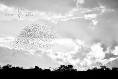 10042012-DSC_4755 copy (omarRZC) Tags: sol atardecer aves cielo parvada
