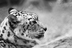 "Snow Leopard • <a style=""font-size:0.8em;"" href=""http://www.flickr.com/photos/62284930@N02/7138467775/"" target=""_blank"">View on Flickr</a>"