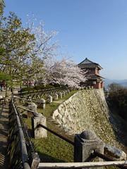 Sakura in Matsuyama Castle (jmentzer92) Tags: castle japan sakura hanami