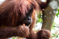 Orangutan 4830 (Ursula in Aus) Tags: animal sumatra indonesia unesco orangutan ape greatape bukitlawang gunungleusernationalpark earthasia