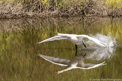 Flying Swan (James s Wall) Tags: wild england bird nature water beautiful birds animals kent swan wings nikon walk wildlife beak nikond3200 d3200 bbcspringwatch walkinthewild stodmarshnationsnaturereserve