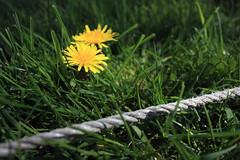 Garden Close Up (Andy G 450D) Tags: sun grass rope line dandelion
