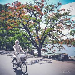 phượng hồng (Quoc Bao Truong) Tags: nikon vietnam viet hue nam nikonian