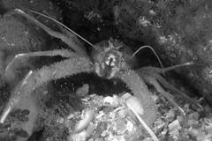 Oban-201604-AirdNaCuile-Crustacean-SquatLobster (Tony J Gilbert) Tags: scotland marine underwater diving scubadiving oban underwaterphotography marinefish 105mmlens 60mmlens nikond300 wwwlochalineboatscouk wwwfinscouk