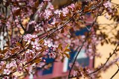 Blossom (Infomastern) Tags: flower ystad blom