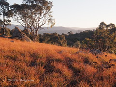 Red light, red autumn grasses,  Cooleman ridge, Canberra (BRDR images) Tags: australia canberra australianlandscape eveninglight australiancapitalterritory canberranaturepark coolemanridgecanberra ourfragileearth