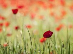 Tableau champtre ** (Titole) Tags: red green grass bokeh poppies shallowdof coquelicots unanimouswinner friendlychallenges thechallengefactory titole nicolefaton