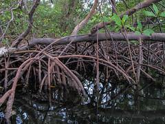 """Bocas del Toro: les mangroves de l'île aux Paresseux <a style=""""margin-left:10px; font-size:0.8em;"""" href=""""http://www.flickr.com/photos/127723101@N04/26726207734/"""" target=""""_blank"""">@flickr</a>"""