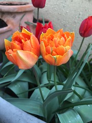 20160413_Terrasse_06 (weisserstier) Tags: plant spring pflanze terrasse tulip tulipa frhling tulpe