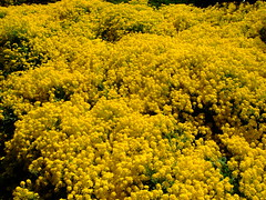 Aurinia saxatalis 'gold king' (yewchan) Tags: flowers flower nature colors beautiful beauty closeup garden flora colours gardening vibrant blossoms blooms lovely alyssum aurinia basketofgold yellowalyssum auriniasaxatalis