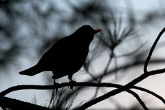 Blackbird backlight (ramosblancor) Tags: madrid naturaleza nature birds backlight contraluz wildlife aves animales turdusmerula commonblackbird mirlocomn turmer