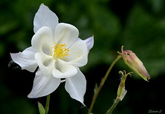 Cycle of Life (Eleanor (No multiple invites please)) Tags: uk garden whiteflower ngc aquilegia stanmore nikond7100 may2016 awuilegia