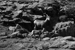Pike's Peak #12 (b&w series) (leehobbi) Tags: blackandwhite bw mountain monochrome animal canon colorado rocks wildlife peak monochromatic pikes elk