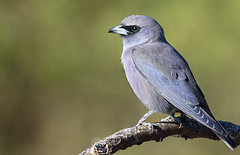a black-faced woodswallow (Fat Burns  (gone bush)) Tags: bird fauna australianbird barcaldine greybird australianfauna woodswallow blackfacedwoodswallow artamuscinereus lagooncreek nikond750 sigma150600mmf563dgoshsmsports sigmateleconvtc1401nik