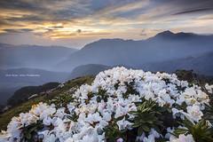 Taiwan Alpine Rhododendron (Chia Hsien) Tags: flowers mountain sunrise canon asia azaleas taiwan ericaceae           canonef1635mmf28liiusm taiwanalpinerhododendron