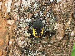 Gymnetis pudibunda (Arystene Nicodemo) Tags: coleoptera scarabaeidae pudibunda cetoniinae gymnetis