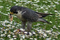 Peregrine Falcon with Lunch (clare.blandford) Tags: hawk events hampshire andover falcon timeline peregrine conservancy