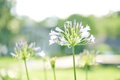(yiming1218) Tags: plant flower macro backlight bokeh g sony taiwan taipei fe agapanthus 90mm f28  oss   90g   a7rii a7r2 a7rm2 ilce7rm2