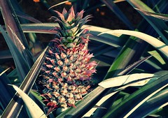 Nantou County Pineapple Nantou, Taiwan (rightway20150101) Tags: taiwan  pineapple nantou