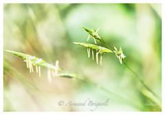 Cool. (armandbrignoli) Tags: macro fleur douceur bokeh plante