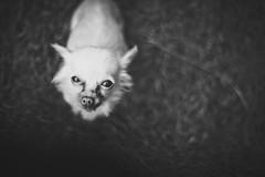 Bambi (jr_moon) Tags: blackandwhite bw dog pet chihuahua cute animal dof bokeh hund schwarzweiss haustier tinydog tiefenschrfe