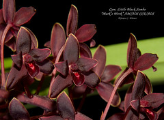 "Cymbidium Little Black Sambo ""Mark's Work"" AM/AOS CCE/AOS (Orchidelique) Tags: plant orchid flower nature am exotic cym hybrid britishembassy cymbidium cce aos littleblacksambo canaliculatum madidum ncjc markswork"
