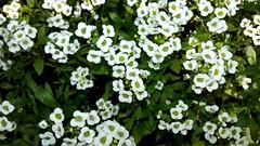 White flower (Arnab1973) Tags: whiteflower alyssum alyssummaritimum flowersofindia flora