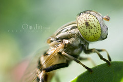 .:: You Know Who I am ::. (omjinphotography) Tags: macro green nature closeup insect tropic wildplant photoart invertebrates 50mmlens eristalinusaeneus canon1100d rebelt3 omjinphotography