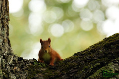 Eye To Eye (Undertable) Tags: nature squirrel natur eichhrnchen redsquirrel treee undertable assamstadt roteseichhrnchen oliverbauer