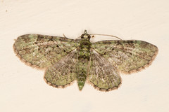 green pug (1) (postcardcv) Tags: macro green canon eos norfolk pug moths m3 100l