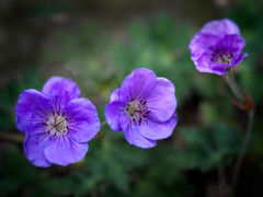New in the Garden (annabelleny Thank you for your views and comments) Tags: blue flower floral perennial groundcover cranesbill rozanne annjacobson truegeramium