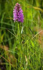 5DSA0892_Lr6_20s1s (Richard W2008) Tags: cathkinmarshwildlifereserve scottishwildlifetrust scotland nature flora fauna