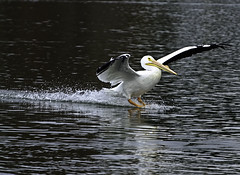 White Pelican Sliding Home. (stan hope) Tags: park usa lake nature birds nikon florida pelican birdsofprey topaz americanwhitepelican lakelandflorida d7000 nikssoftware allofnatureswildlifelevel1 allofnatureswildlifelevel2