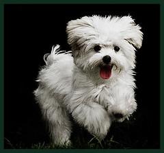 Malts (Mnica Nakkiri) Tags: co branco cachorro filhote bicho estimao domstico raa malts