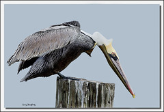 Pelican Yoga No. 2 (Larry Daugherty) Tags: bird nature nikon louisiana aves pelican brownpelican animalia metairie pelecanus pelecanidae pelecaniformes pelecanusoccidentalis chordata indianbeach divingbird specanimal d700 saariysqualitypictures bonnabelboatlaunch mygearandme mygearandmepremium nikkor500mmf4lens