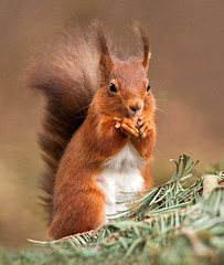 Squirrel Nutkin!!   (Red Squirrel) (marsch1962) Tags: nature woods feeding wildlife nuts northumberland endangered mammals redsquirrel nibbler nikon300mmf28vrii