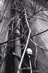 canon canonet GIII QL17 - kodak Tmax 400 (tamsam) Tags: white black tree nature wall canon tmax roots 400 canonet ql17 giii beton kodack pesmes