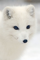 Artic Fox (affinity579) Tags: winter white fur nikon quebec fox 70200mm ecomuseum articfox 2xteleconverter specanimal d700