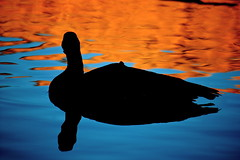 The Golden Hour approaches ... (Parowan496) Tags: shadow bird water silhouette morninglight geese floating goose canadiangoose waterfowl goldenhour goldandblue greatphotographers rainforestink flickrstruereflection1 rememberthatmomentlevel1 rememberthatmomentlevel2