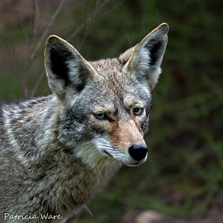 A Coyote furrows its brow as if to ask,