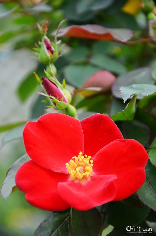 2012士林官邸玫瑰季24.jpg