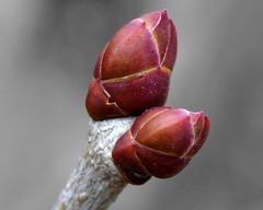 Red bud (rexp2) Tags: winter macro nature nikkormicro105mmf28 nikonpb4bellows sonynex5n fujinonelc8077closeuplens
