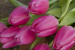 Tulips (Lily Garnier) Tags: pink flower nature floral petals spring flora tulip bloom seaons springtime perennial tulipa bulbousplant springfloweringbulb copyrightlilygarnier