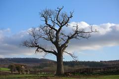 The Big Tree (elhawk) Tags: barn oak hadnock