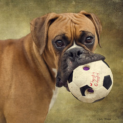 Wanna Play? (dog ma) Tags: dog cute texture nature ball puppy ma photography clyde thankyou soccer adorable 10monthsold fawn boxer jody pup dogtoy trappe flypaper wigglygiggly heisspecial magicunicornmasterpiece thepinnaclehof kanchenjungachallengewinner thepinnacleblog lenabemanna tphofweek143