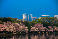 Washington DC Tidal Basin with Japanese Cherry Blossoms and Rosslyn VA Skyline in Background (mbell1975) Tags: trees usa tree water skyline buildings cherry japanese us dc washington office spring with blossom background blossoms 7 basin national va potomac rosslyn tidal channel wjla ilobsterit
